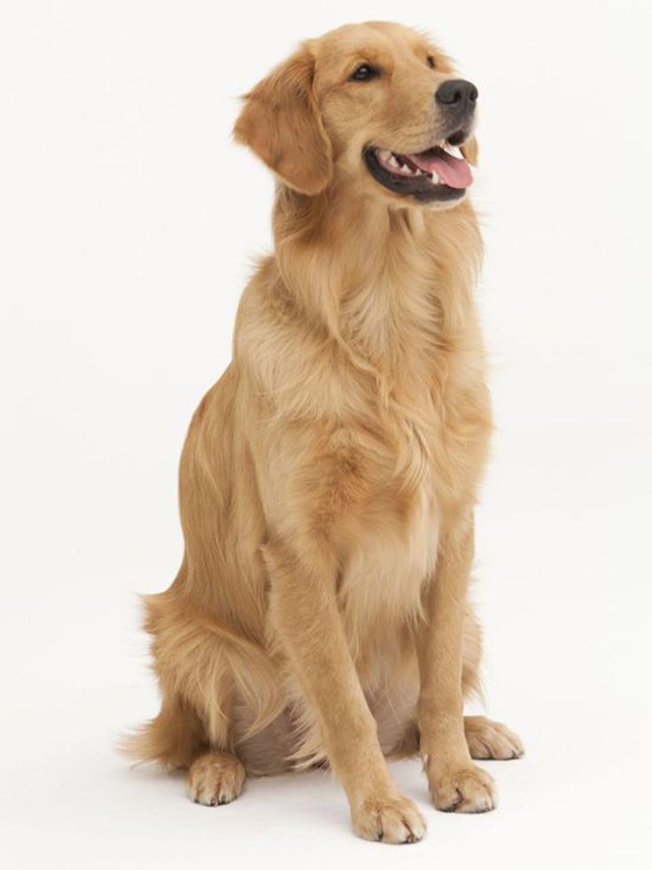 portada_GOLDENRETRIEVER